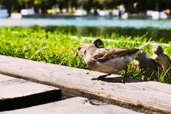 Bird sparrow close-up Royalty Free Stock Photos