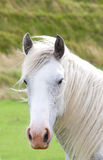 Grey windblown horse. A portrait of a grey horse on a windy day Royalty Free Stock Photography