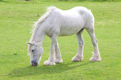 Grey windblown horse Stock Photo