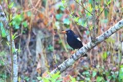 Grey-winged Blackbird Royalty Free Stock Photo