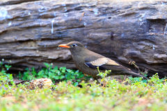 Grey-winged Blackbird Stock Image