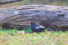 Grey-winged Blackbird Royalty Free Stock Images