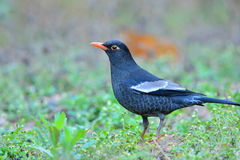 Grey-winged Blackbird Stock Images