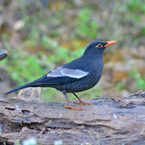 Grey-winged Blackbird Stock Image