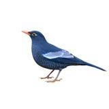 Grey-winged Blackbird Royalty Free Stock Images