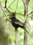 Grey-winged blackbird Royalty Free Stock Image