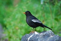 Grey-winged Blackbird Stock Photography