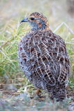 Grey Winged Francolin Royalty Free Stock Photo