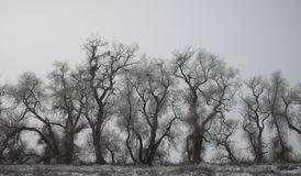 Grey Winter Trees Fotografie Stock Libere da Diritti
