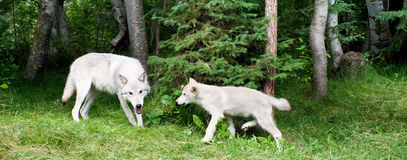 Grey Wold and Pup. Panoramic Composition of Adult Grey Wold with Pup Stock Images