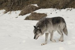 Grey Wolf. A female grey wolf in winter in Canada Royalty Free Stock Photos