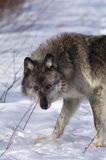 Grey Wolf. A female grey wolf in winter in Canada Stock Photography