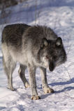 Grey Wolf. A female grey wolf in winter in Canada Royalty Free Stock Photography