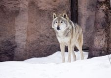 Free Grey Wolf Stock Images - 13674474