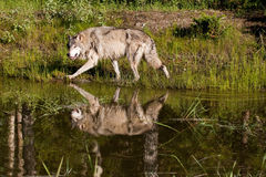 Grey Wolf. Adult Grey Wolf Stalking at Edge of Pond with Reflection Stock Photo