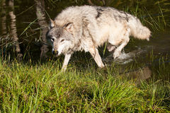 Grey Wolf. Adult Grey Wolf at Edge of Pond Royalty Free Stock Image