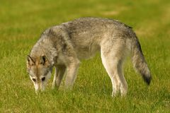 Grey wolf. Wolf in British Columbia, Canada Royalty Free Stock Photos