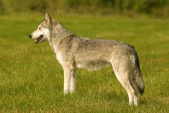 Grey wolf. Wolf in British Columbia, Canada Stock Photography
