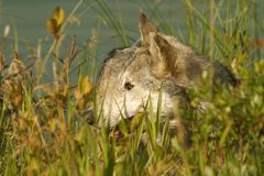 Grey wolf. Wolf in British Columbia, Canada Royalty Free Stock Image