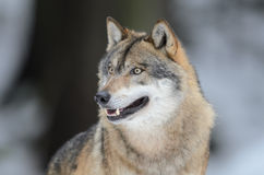Grey wolf. Portrait of a grey wolf Stock Image