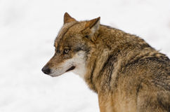 Grey wolf. Portrait of a grey wolf Royalty Free Stock Photo