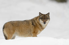 Grey wolf Stock Photography