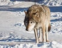 Grey wolf Stock Photos