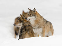 Grey wolf Royalty Free Stock Images