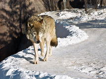Grey wolf Royalty Free Stock Photo