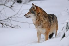 Grey Wolf. The gray or grey wolf often known as the wolf only. This one is looking for the other wolves Stock Images