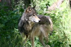 A Grey Wolf. A beautiful grey wolf in a natural habitat Royalty Free Stock Photos