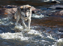 Grey wolf Royalty Free Stock Image