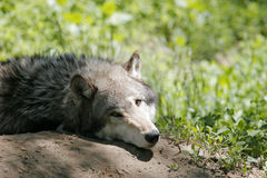 Grey Wolf. A Grey Wolf interested but not moving Royalty Free Stock Photography