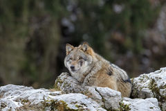 Grey wolf. Grey wof lying on top of a rock Stock Images