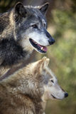 Grey Wolf Lizenzfreie Stockfotos