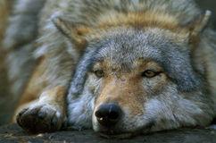 Grey Wolf. Gray Wolf (Canis lupus Royalty Free Stock Photo