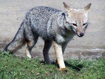 Grey wolf Stock Photo