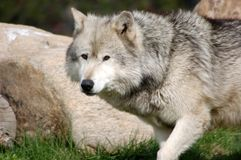 Grey Wolf 9. A gray wolf taken at Yellowstone National Park sanctuary Stock Images
