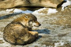 Free Grey Wolf Stock Photography - 939682