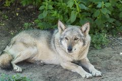 Grey Wolf Animal Photo libre de droits