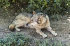 Grey Wolf Animal Photographie stock libre de droits