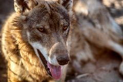 Grey Wolf Animal portrait in sunset light.  Stock Image