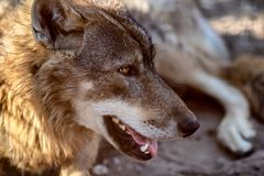 Grey Wolf Animal portrait in sunset light.  Royalty Free Stock Image