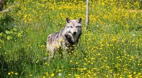 Grey Wolf auf einem Gebiet von Butterblumeen stockbild