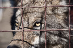 Grey wolf behind wire netting. Closeup of one attentive wild animal of beautiful grey wolf with yellow eyes looking from wire netting sunny day outdoor Stock Photos