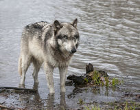 Grey wolf with blue eyes wading in a lake Royalty Free Stock Photos