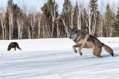 Grey Wolf Canis-de wolfszweer springt Linker Andere Wolven op Achtergrond stock fotografie