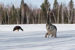 Grey Wolf Canis-de wolfszweer stuitert vooruit Andere Wolven in de Achtergrondwinter royalty-vrije stock foto