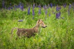 Grey Wolf Canis-het wolfszweerjong duikt op Lupine-Gebied op Stock Foto's