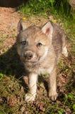 Grey Wolf Canis-het wolfszweerjong ziet omhoog eruit royalty-vrije stock afbeeldingen